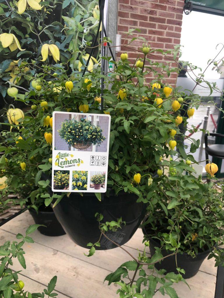 Little Lemons staat bij de Parel actie van De Grote Tuinverbouwing en Pull Position tijdens FlowerTrials 2019 op plaats nummer drie.