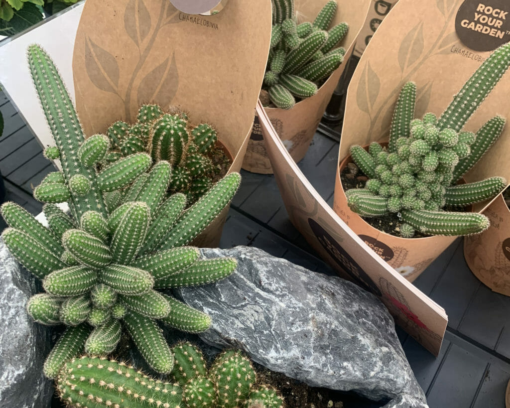 Rock Your Garden heeft winterharde cactussen in verschillende felle kleuren, gespot tijdens Plantarium 2019 door Pull Position.